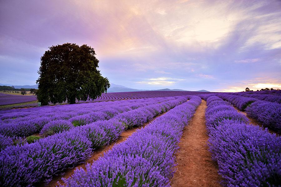 Bridestowe Lavender Estate – Brian Dullaghan