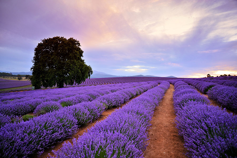 Bridestowe Lavender Estate – Brian Dullaghan